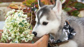 犬が食べえると危険な食材?