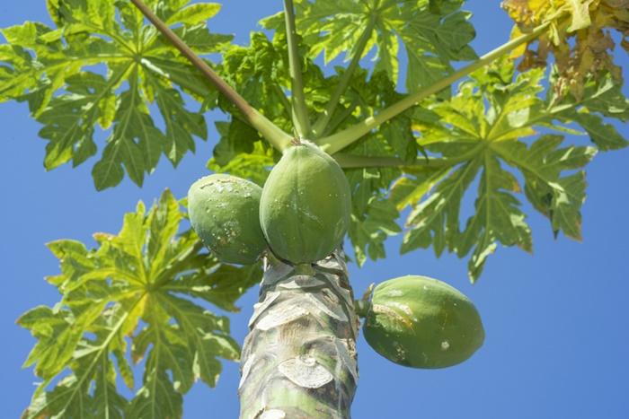このこのごはんは青パパイヤやモリンガのポリフェノールが豊富!